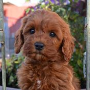 2017 Puppy